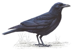 Carrion Crow - Misses Hollond Aviary