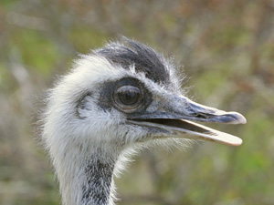 Emu - Misses Hollond Aviary