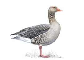 Greylag Goose - Misses Hollond Aviary