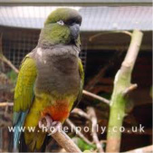Patagonian Conure - Misses Hollond Aviary